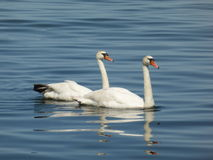 Swans on the water Royalty Free Stock Images