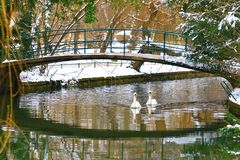 Swans under the bridge. Swans in water under the bridge royalty free stock images