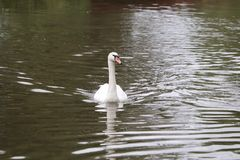 Large swans with water proof feathers. Swans in the water ways of a canal.feathers and beak and water proof feathers Stock Photography
