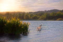 Swans On Water By Wild Yellow Iris Royalty Free Stock Photography