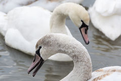 Swans on the water in winter. Royalty Free Stock Images