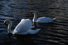 2 swans. Waterfalls in green park witch path Stock Photo