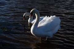 2 swans Royalty Free Stock Photos