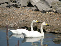 Swans - Wetlands Centre Royalty Free Stock Photography