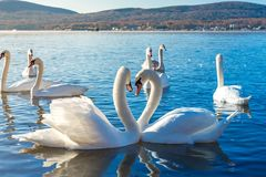 Swans which form a heart. At lake yamanakako, yamanashi, japan Stock Photo