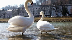 Swans. White swans in the city park stock footage