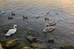 Swans, white goose, wild geese, ducks, seagull, aquatic birds sw Stock Images