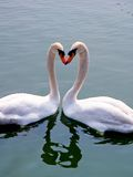 Swans. White swans looking in a natural lake in south america Royalty Free Stock Photography
