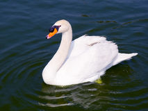 Swans. White swans looking in a natural lake in south america Royalty Free Stock Photo
