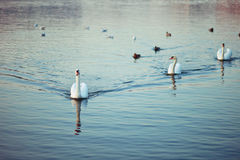 Swans. White swans and other birds Stock Photography