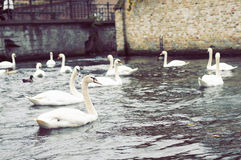 Swans. White swans in the pond Stock Image