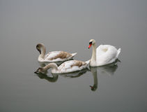 Swans. White swan with chicks on water Royalty Free Stock Photography
