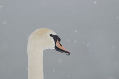 The swans Royalty Free Stock Photography