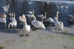 Swans. White swans swimming in cold winter day Royalty Free Stock Photography