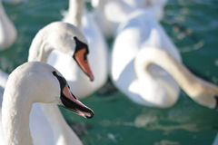 Swans. White swans waiting for food Stock Images