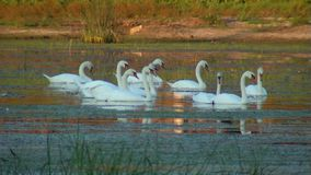 Swans in the wild stock footage
