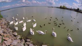 Swans and wild ducks on the lake Balaton  town Keszthely in Hungary stock video