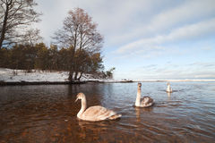 Swans in winter. Royalty Free Stock Images