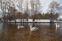 Swans in winter. Stock Photo
