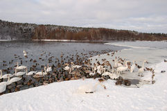 Swans in winter stock photography