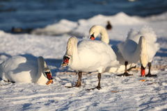 Swans in winter, feeding Royalty Free Stock Images