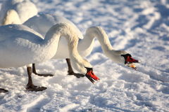 Swans in winter, feeding Royalty Free Stock Photo
