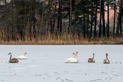 Swans on frozen lake Royalty Free Stock Image