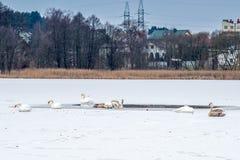 Swans on frozen lake Royalty Free Stock Photos