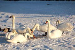 Swans in winter Stock Image