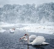 Swans in winter lake. Swans swim in the winter lake