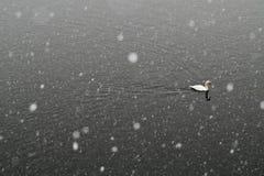 Swans in winter Stock Photos