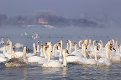 Swans in a winter landscape Royalty Free Stock Photos