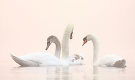 Swans on Winter misty lake. Family of swans on Winter misty lake in morning light royalty free stock image