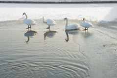 Swans on a Winter Pond Royalty Free Stock Photo