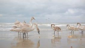 Swans winter sea. migratory birds. Swans winter sea, migratory birds. Black Sea stock video