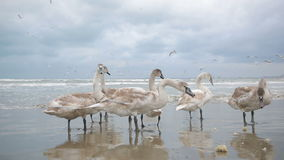 Swans winter sea. migratory birds. stock video