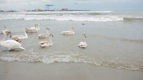 Swans winter sea. migratory birds. stock footage