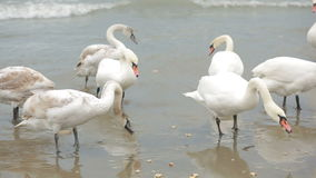 Swans winter sea. migratory birds. stock video footage