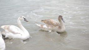 Swans winter sea. migratory birds. Swans winter sea, migratory birds. Black Sea stock footage