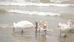 Swans winter sea. migratory birds. Swans winter sea, migratory birds. Black Sea stock video footage