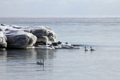 Swans at Winter Royalty Free Stock Images
