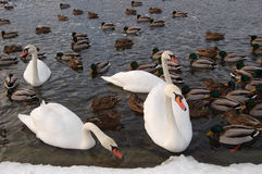 Swans in winter1 Royalty Free Stock Image