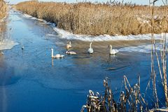 Wintering swans on the pond royalty free stock photos