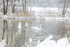 Swans In Wintertime. A swan family on a river in wintertime. Snow covers the riverside. Two swans are diving for food. The water mirrors the trees Royalty Free Stock Photos