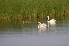 Swans With Signets Royalty Free Stock Photos