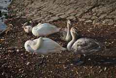 Swans with youngsters on the river. Vltava in Prague royalty free stock photo