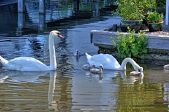 Swans with your fledglings Royalty Free Stock Images