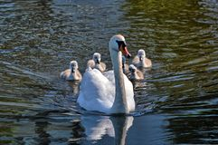 Swans with your fledglings Stock Photography