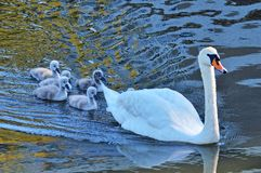 Swans with your fledglings Royalty Free Stock Photo