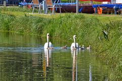 Swans with your fledglings Royalty Free Stock Photos